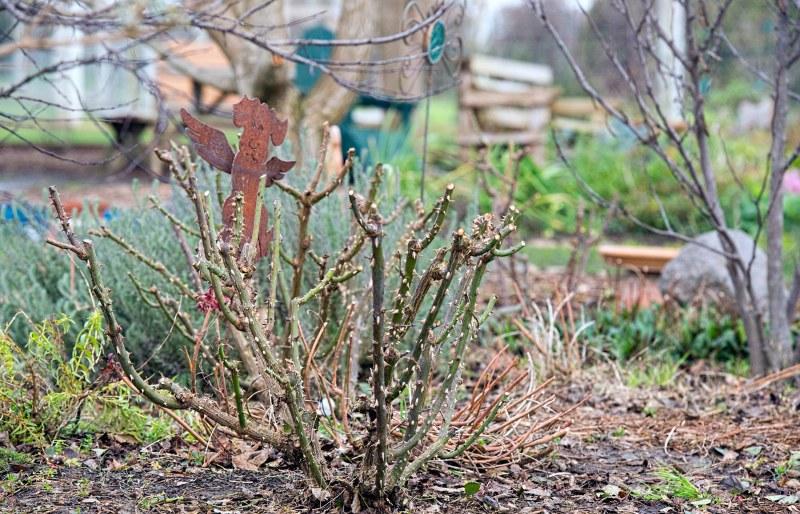 rose-pruning_dsc_6152