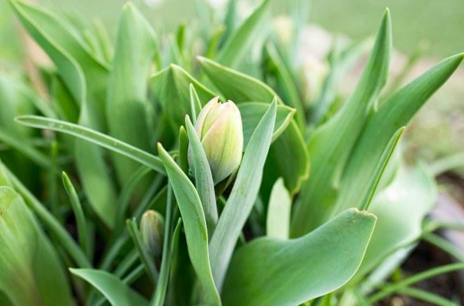 tulip_dsc_6581