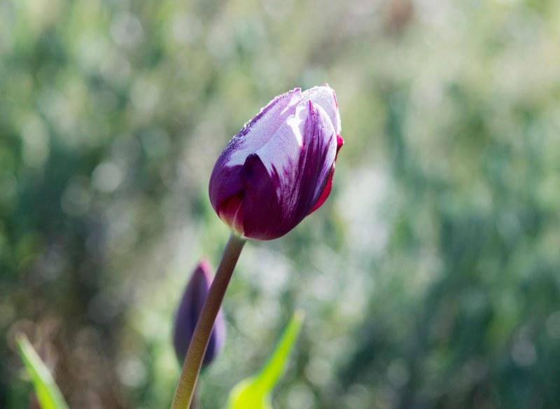 tulip_dsc_6803