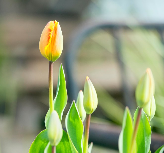 tulip_dsc_6998