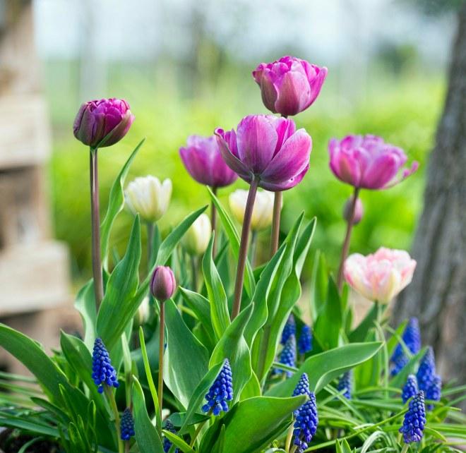 tulips_dsc_6997