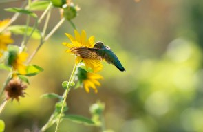 Hummingbird_Sunflower_DSC_7856