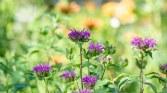 Bee Balm_Mantis_DSC_7236