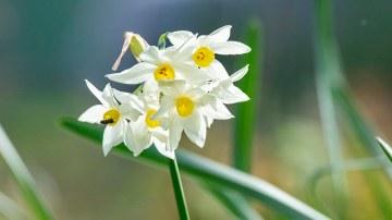 Narcissus_DSC_6007
