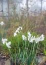 Narcissus_Fog_DSC_5000
