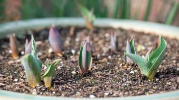 Tulips_DSC_6003