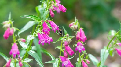 Penstemon_Bee_DSC_9188