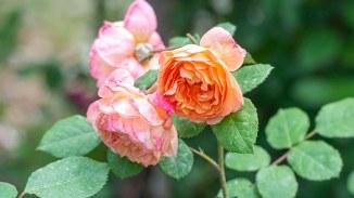 Roses_DSC_9197