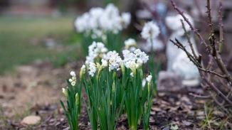Narcissus_January_DSC_3546