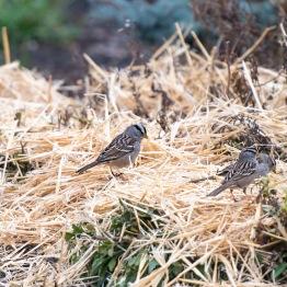 Sparrows_Straw_DSC_3919