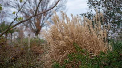 Winter_Grasses_DSC_3097