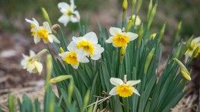 Daffodils_DSC_4401