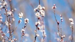 Garden_Spring_Apricot_DSC_4835