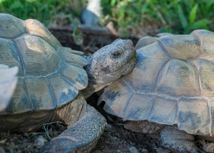 Tortoise_DSC_0530